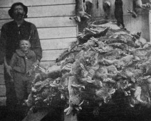 A heap of 470 rabbits picked up in one morning, by Mr George H. Blair, Hillens, after laying...