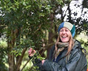 Dunedin Botanic Garden horticultural apprentice Toni Robertshaw takes a closer look at a Bartlett's rata, one of New Zealand's rarest trees, at the garden. Photo: Peter McIntosh