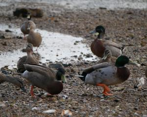 Ducks across the road. Photos: Jessica Wilson.