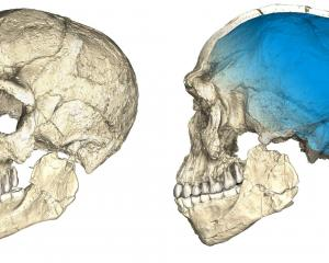 Two views of a composite reconstruction of the earliest known Homo sapiens fossils from Jebel...