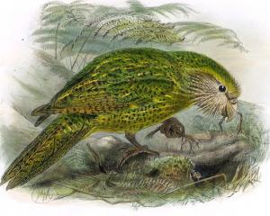A kakapo from A History of the Birds of New Zealand.