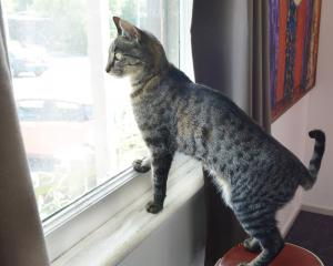 Seamus the cat may be one of many affected by proposed cat control legislation. Photo: Gerard O...
