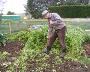 Keith Omelvena digs in mustard during winter. A green manure crop like mustard adds organic...