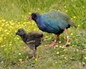 The takahe chick explores the Orokonui Ecosanctuary. PHOTO: STEPHEN JAQUIERY