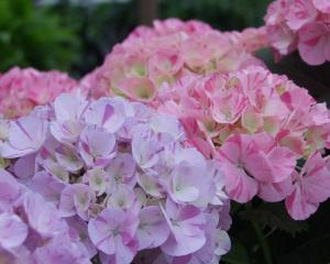 Hydrangeas are easy to grow, dependable and beautiful. Photo: ODT.