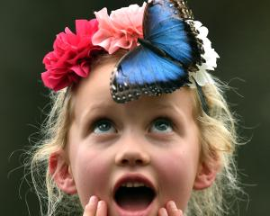 Zoe Innes (6), of Wanaka, gets a visit from a blue morpho butterfly from Costa Rica at the Otago...
