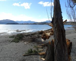 The Queenstown Lakes District Council will assess a group of mature poplar trees on the Wanaka...