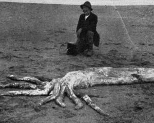 Part of a huge octopus stranded on a Catlins beach. - Otago Witness, 1.8.1917.