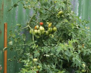 Harvest green tomatoes and store them indoors. Photo: Rachael Comer.