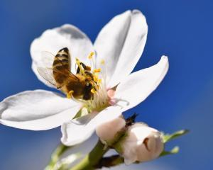 Australia has more than 80 species of native Leptospermum, while New Zealand has one, but the '...
