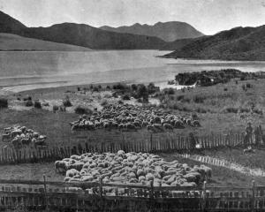 A North Auckland pastoral scene, near the head, Herekino Harbour. — Otago Witness, 26.9.1917.