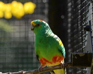 A male mulga parrot (Psephotellus varius) in the aviary. Photo: Linda Robertson