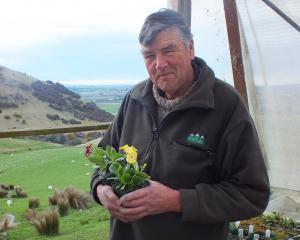 Peter Salmond holds one of Hokonui Alpines' auriculas, one of this year's big sellers. Photo:...