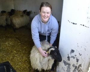 Kathryn McRae, working with Scottish blackface sheep in Ireland. PHOTO: SUPPLIED