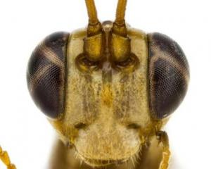 University of Auckland doctoral student Tom Saunders has described a species of native wasp and...