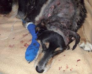 Lukey, a 10-year-old rough collie cross, recovers after surgery to repair injuries he sustained...