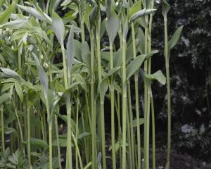 Polygonatum multiflorum. Photo: Gerard O'Brien