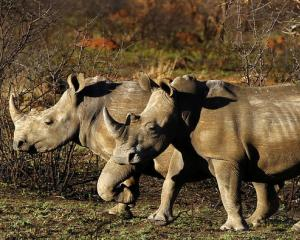 Rhinos are seen at the Mafikeng Game Reserve in the North West province. Photo: Reuters