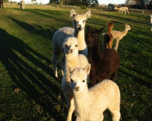 The livestock at Otaio Bridge Alpacas are named after native plants. Supplied photo