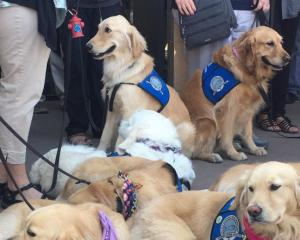 A whole bunch of comfort dogs are currently at Sunrise Hospital in Las Vegas. Photo: Twitter @JimDalrympleII