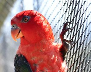 A chattering lory parrot in the aviary at Dunedin Botanic Garden. Photo: Peter McIntosh