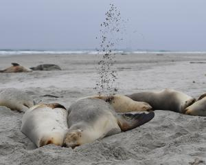 A group of female sea lions laze at Smaills Beach yesterday. Photo: Stephen Jaquiery