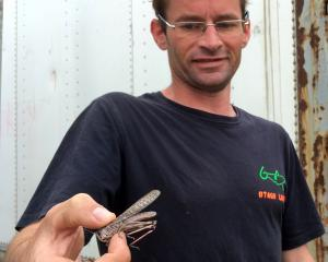 Otago Locusts founder Malcolm Diack shows alocust on his Dunedin farm at Lookout Point. PHOTO:...