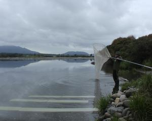 Merv Burrell makes the most of the last day of the 2017 whitebait season on the Grey River. Photo...