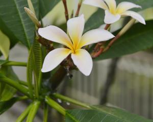 Frangipani or Plumeria. Photo: Gerard O'Brien