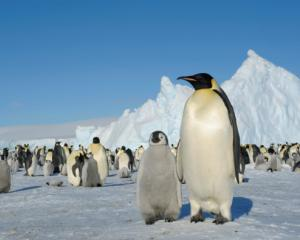 An Emperor penguin colony on Snow Hill Island in the Antarctic. The ancient penguin would have...