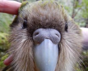 Young kakapo male Blake has died in the Fiordland National Park of heat stress. Photo: Twitter