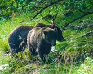 Brown bear younglings at Pack Creek, Alaska. PHOTO: JANINE MALLON