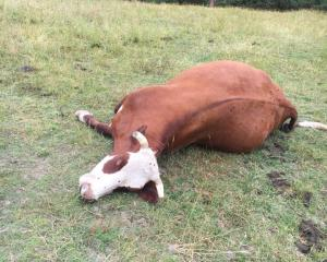 The cattle which was shot near Henley. Photos: Joshua Adam