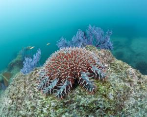 There have been four major crown of thorns outbreaks since the 1960s in the Great Barrier Reef...