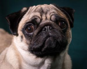 Trade Me has announced that it is banning the sale of pugs (pictured), British bulldogs and...