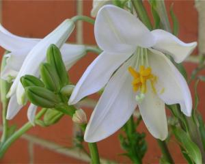 The true Christmas lily, 'Lilium candidum', is not often available. The Otago Lily Society has...