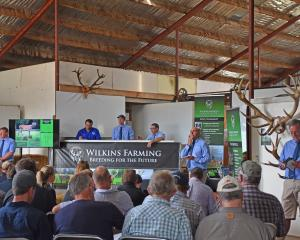 Prices at Wilkins Farming's sire sale in Southland this month were up 35% on last year. Photo:...