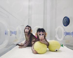 Cloned monkeys Zhong Zhong and Hua Hua are seen at the Chinese Academy of Sciences in Shanghai...