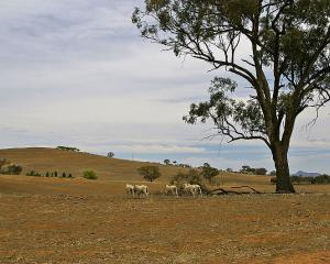 Southland - which is responsible for about 15 to 20% of the lamb kill - was declared a drought...