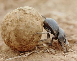 Dung beetle. Photo: Getty