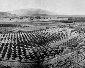 A scene overlooking a portion of the fruit-growing area at Earnscleugh - Mr Smith's orchard in...