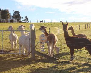 Alpacas 101 is being organised for people who want to know how to interact with the animals....