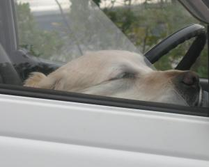 You can't beat a good dog-behind-the-steering wheel photo. Lala Frazer, of Broad Bay, noticed...