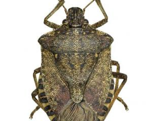 MPI is working to keep the brown marmorated stink bug from New Zealand shores. Photo: Allied Press