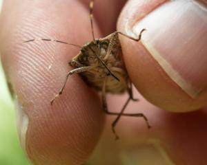 The brown marmorated stink bug. Photo: Getty