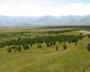 Wilding pines. Photo: Wikimedia Commons