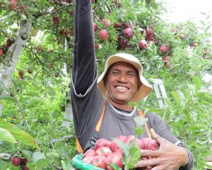 Robson Bihu picks red delicious apples from a block in the Remarkable Orchard at Roxburgh East....