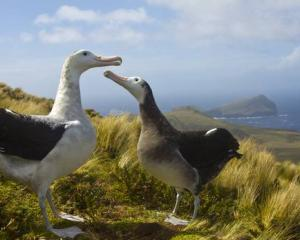 The critically endangered Antipodean wandering albatross on Antipodes Island. Photo: NZ Herald /...