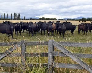 Beef consumption is rising in some key international markets. Photo: Stephen Jaquiery