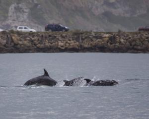 A pod of bottlenose dolphins in Otago Harbour. Photo: Supplied